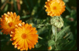 Calendula officinalis (cult.) : capitule (détail)