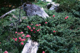Rhododendron sp. : population