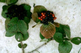 Viburnum lantana : fruits
